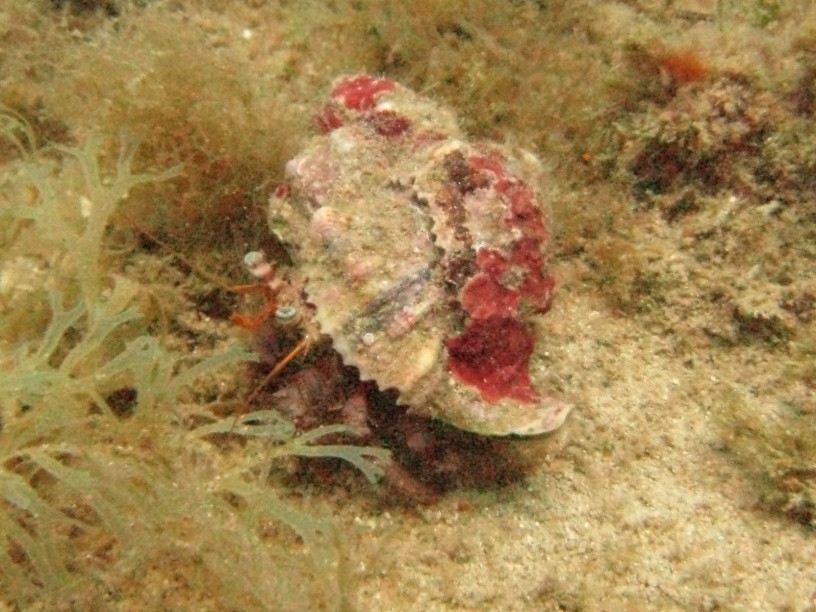 Hermit crab - This little chap was about 60 mm long and living on the Maori wreck.