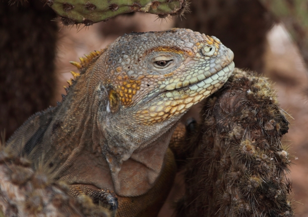 Hybrid iguana. They have marine fathers and land mothers, and are infertile.