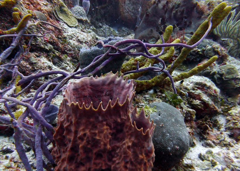 diving in mexico  - One of the many huge vase sponges