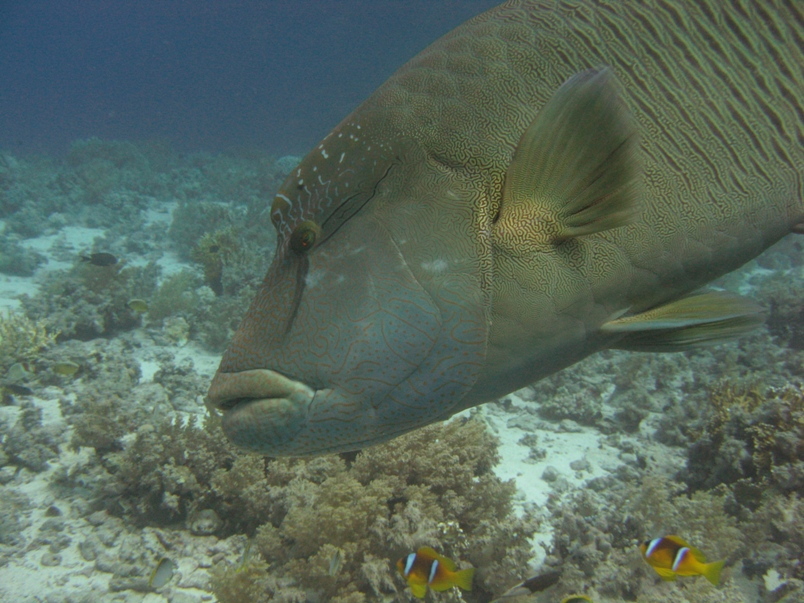 Fifth place: Napoleon wrasse - Geoff