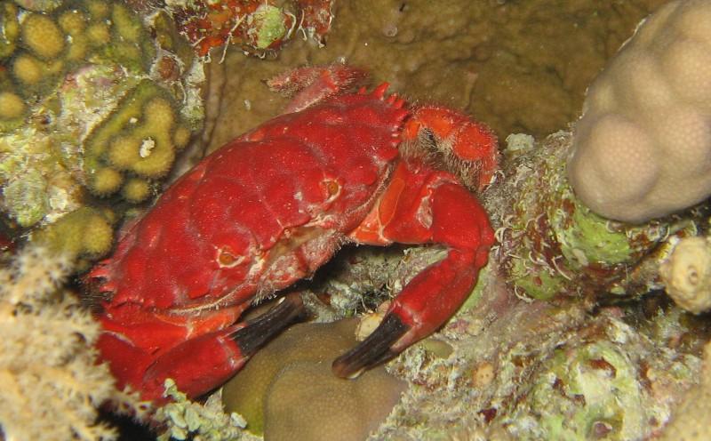 Fourth place: Splendid Spooner crab -  Geoff