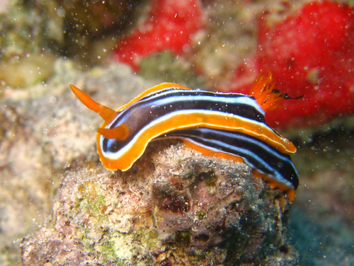 Sha'ab Umm Usk Reef - Nudibranch