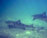 Larger Leopard Sharks free swimming