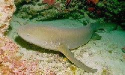 Nurse Shark resting on tank bottom