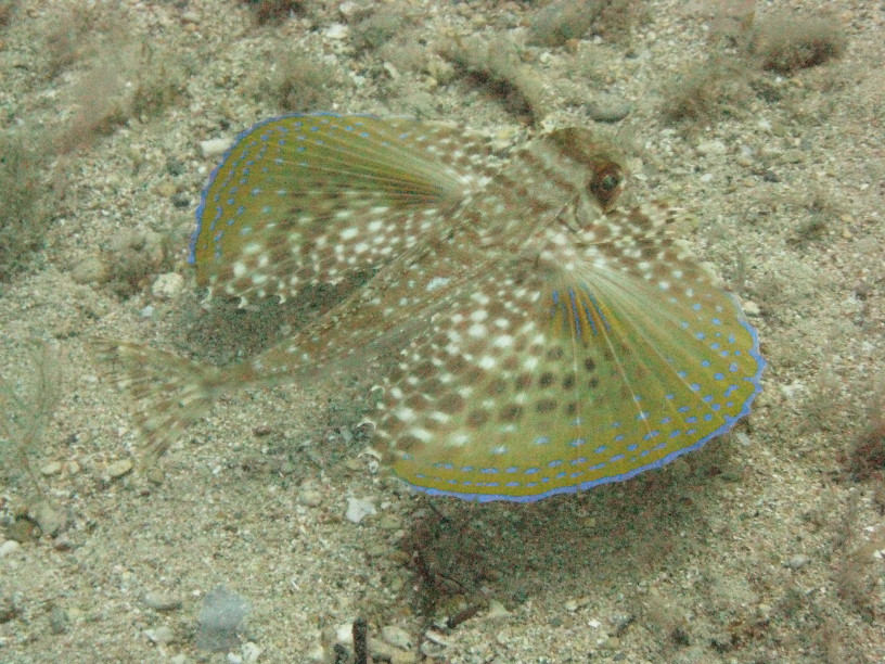 Flying Gurnard - This chap only gave me one look at his wings, then stayed just out of reach of the camera.