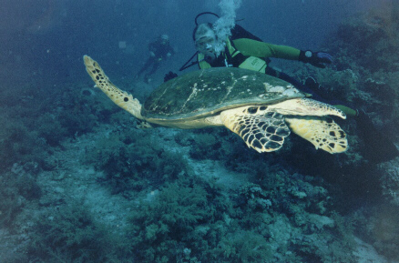 My Dad with a Turtle in the Red Sea.