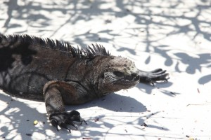 Marine iguana Amblyrhynchus cristatus on beach in Tortuga Bay near Puerto Ayora.