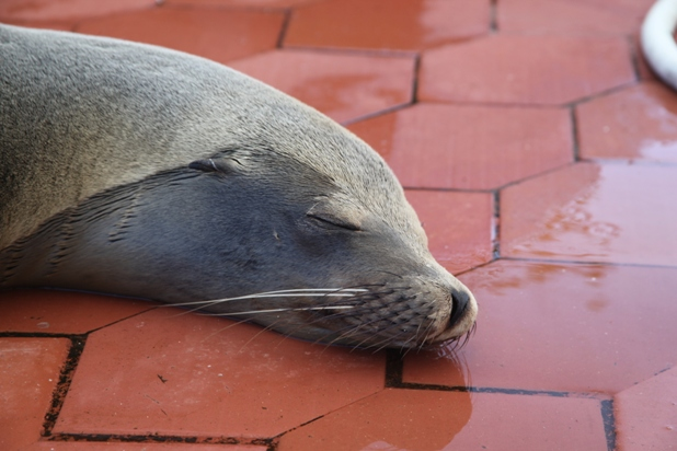 Another sleeping sea lion. In the fish market on the prom in Puerto Ayora.