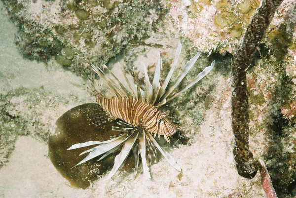 Cuban Lion Fish