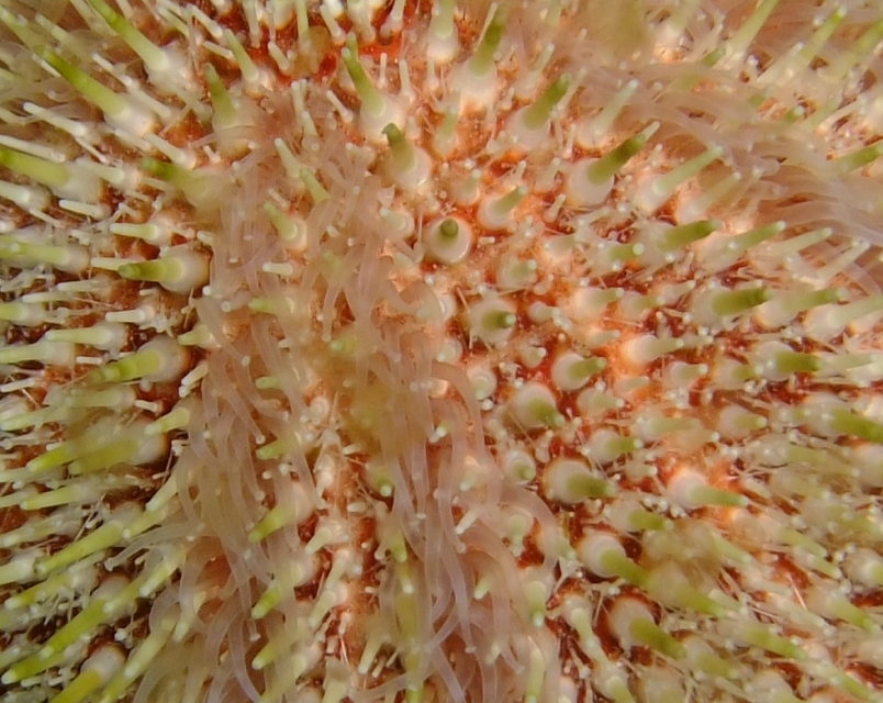 Exotic from warm water? No, close up of an urchin at Plymouth