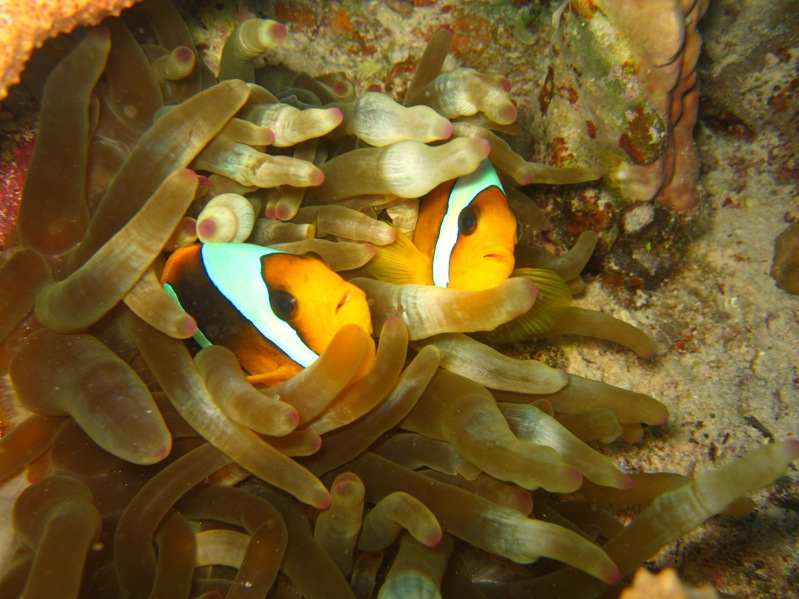 Clown fish in bubble anemone